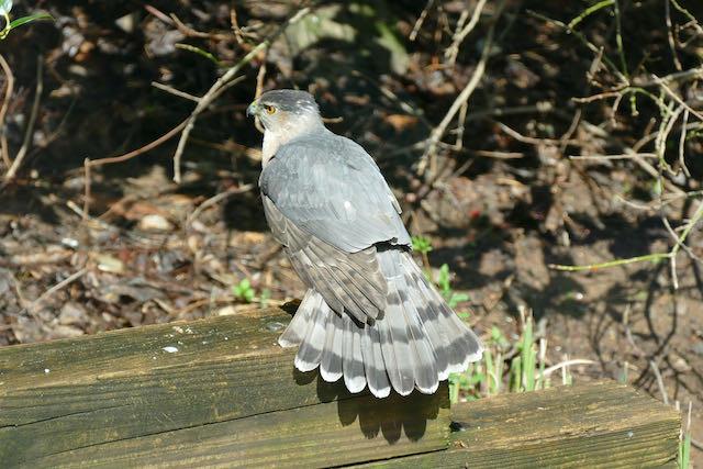 Cooper's Hawk by Larry Jeeter