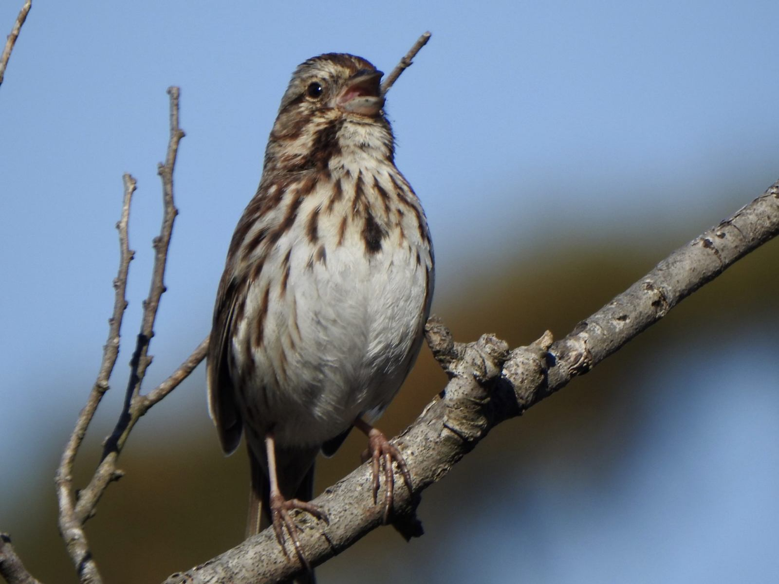 Song Sparrow by Marian McSherry