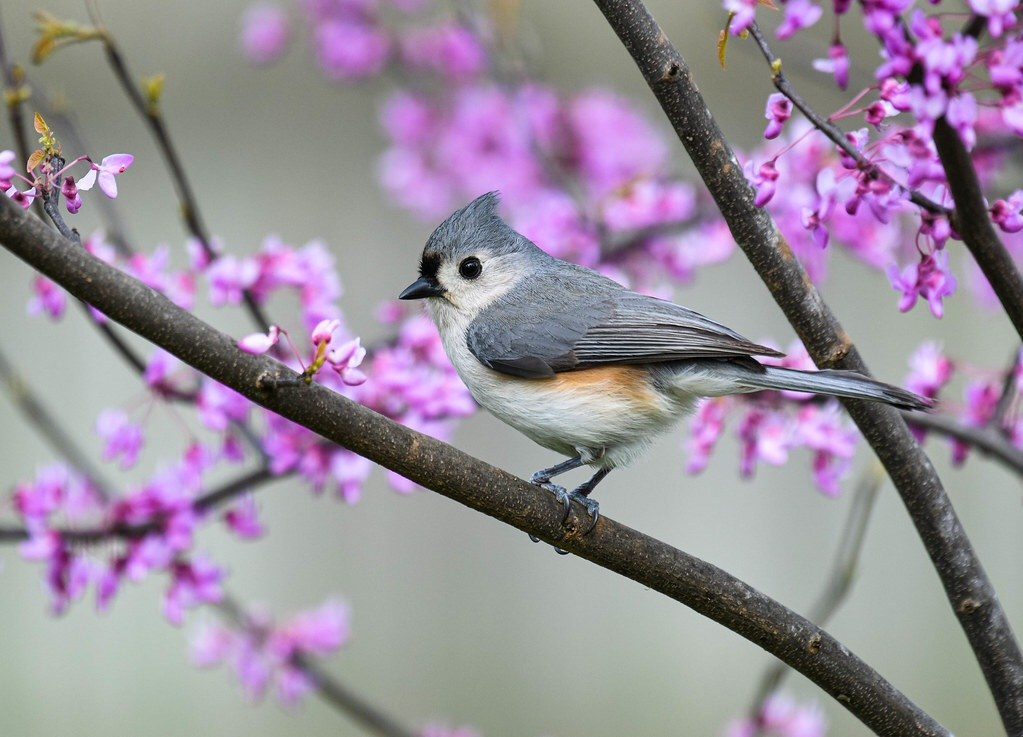 Tufted Titmouse by Steve Ricketts
