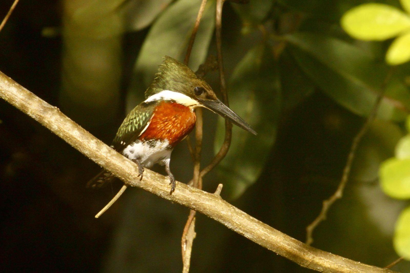 Amazon Kingfisher By Kate Winstanley