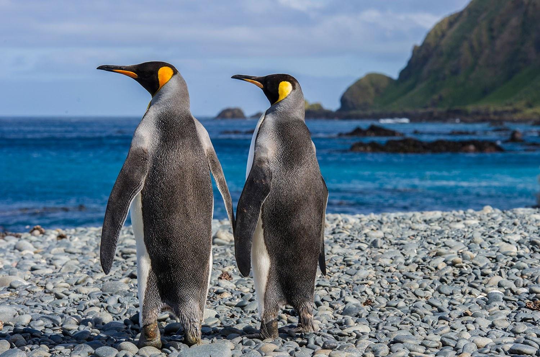 King Penguins By Charles Bergman