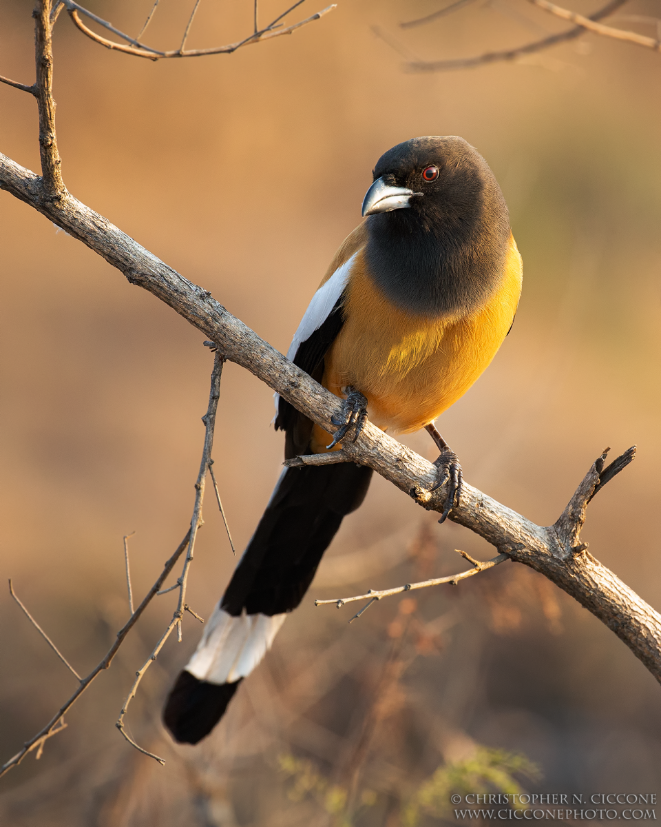 Rufous Treepie By Christopher Ciccone