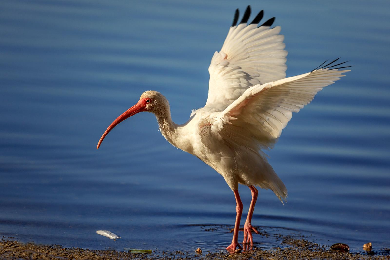 White Ibis By Linn Smith