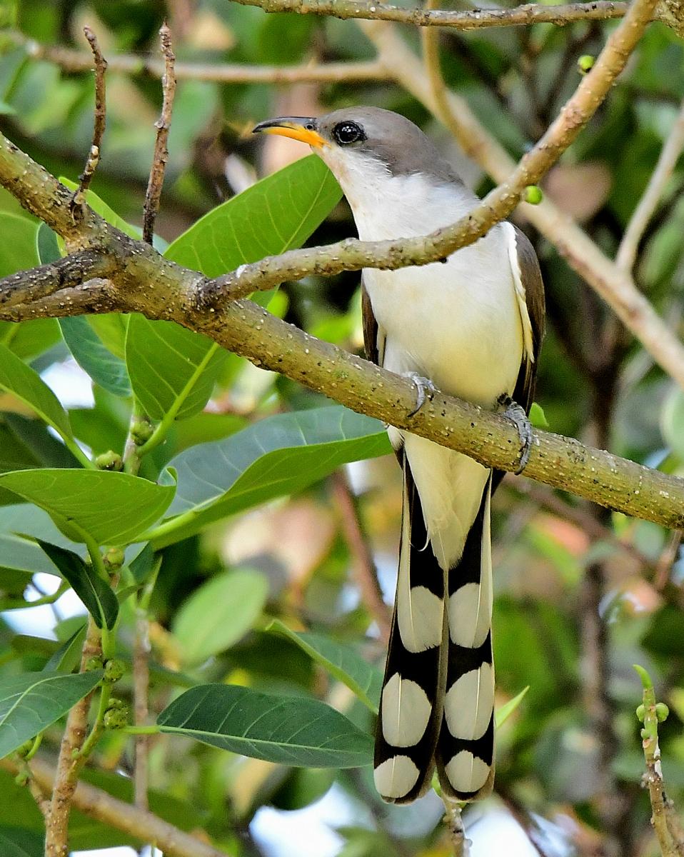 Yellow-billed Cuckoo By Marilynne Strazzeri