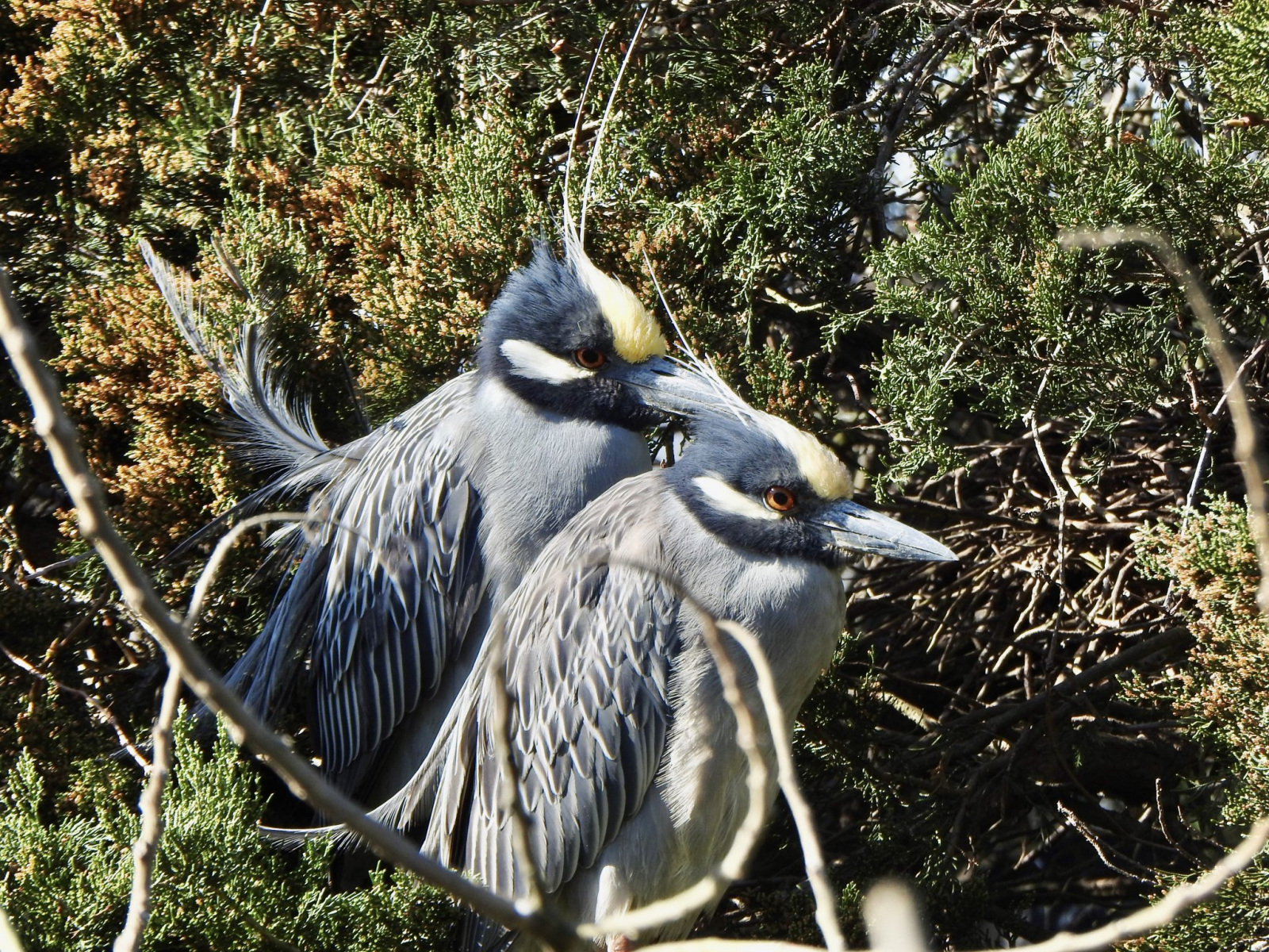 Yellow-crowned Night-Herons By Marian McSherry
