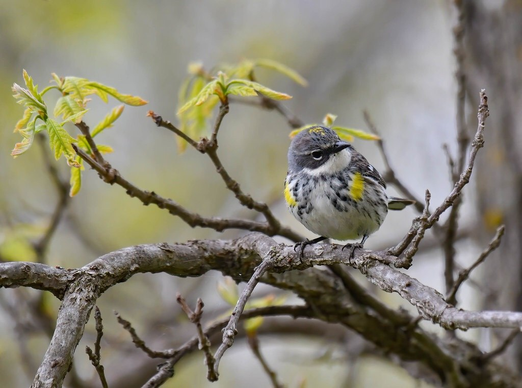 Yellow-rumped Warbler By Steve Ricketts