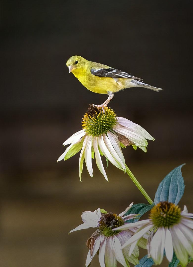 American Goldfinch by EJaran