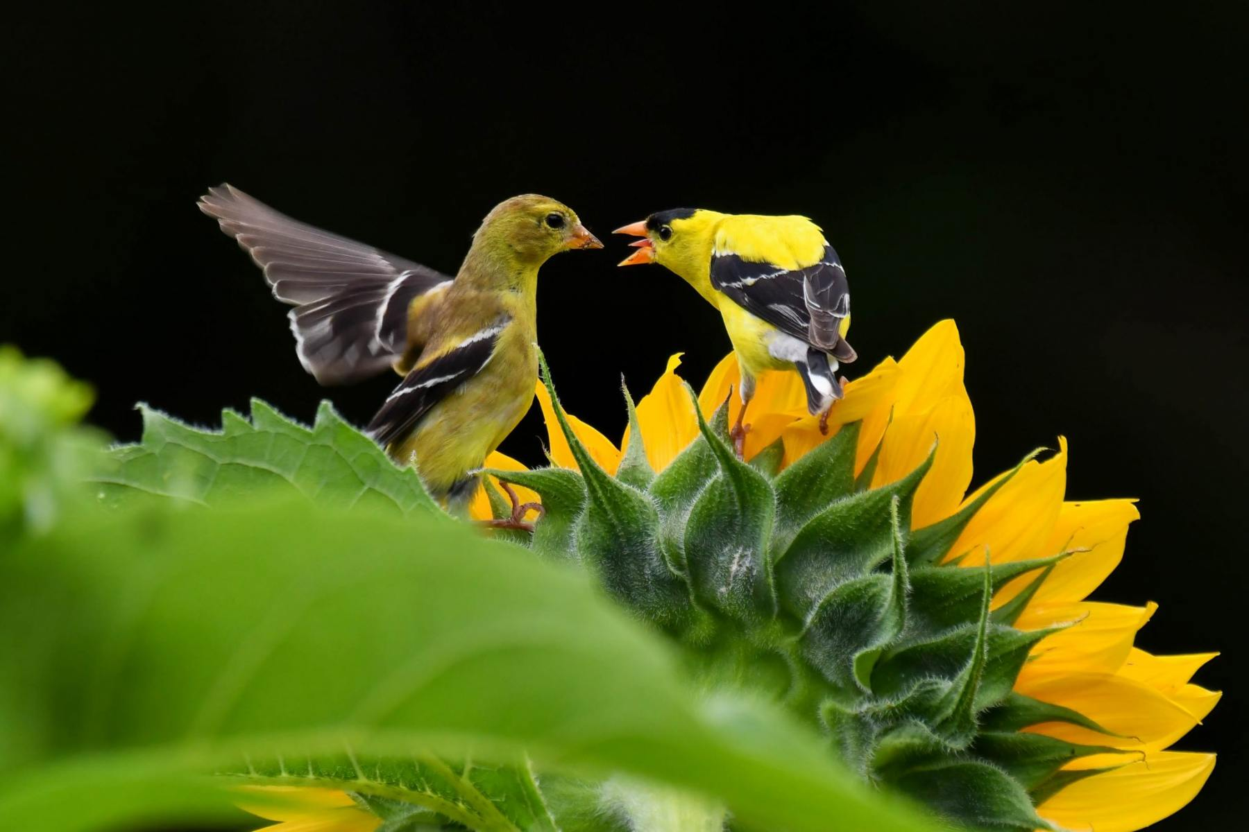 American Goldfinches by Steve Ricketts