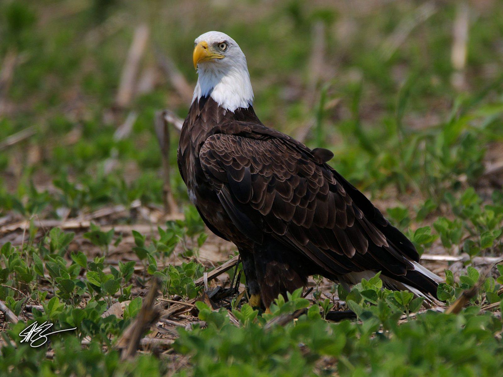 Bald Eagle by Scott Zimmerman