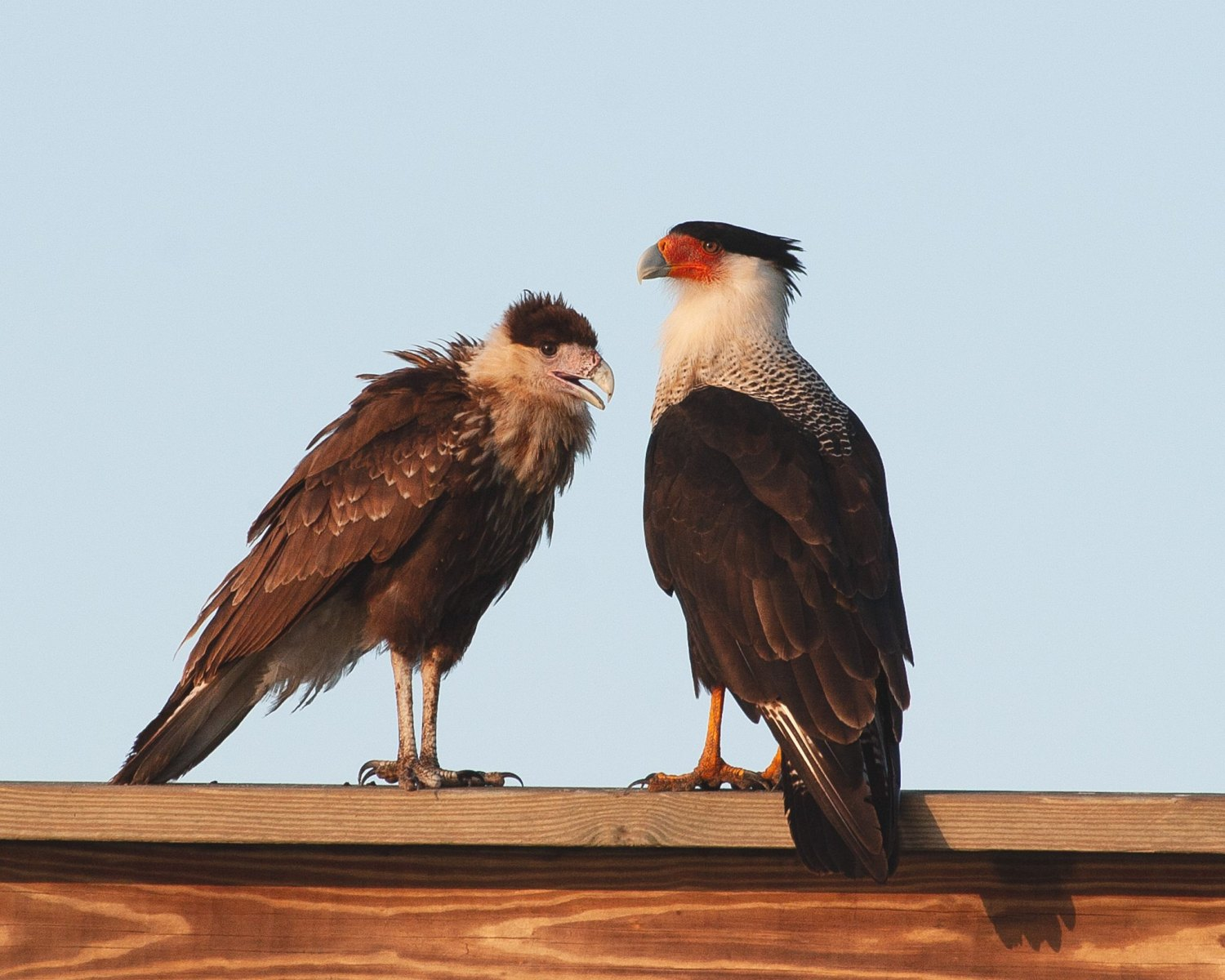 Crested Caracaras by Tsquare32926