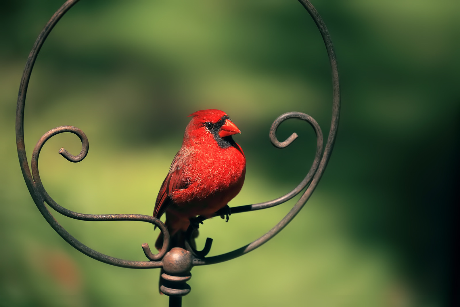 Northern Cardinal by Linn Smith