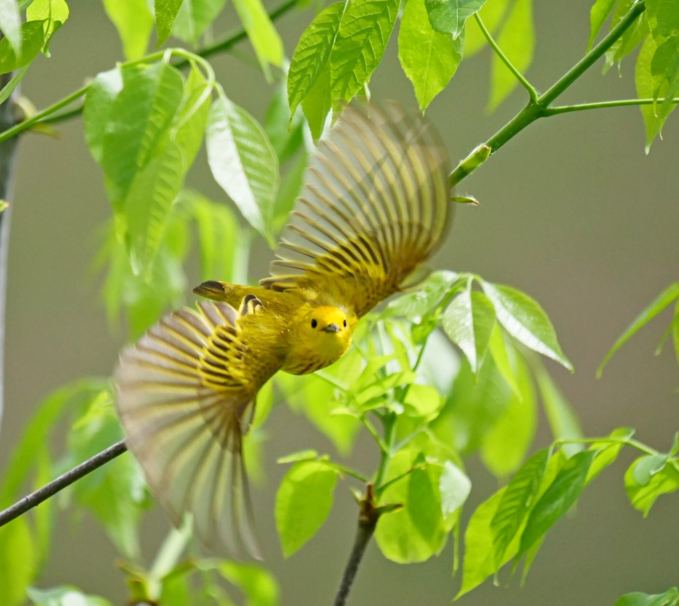 Yellow Warbler by Robert Strickland