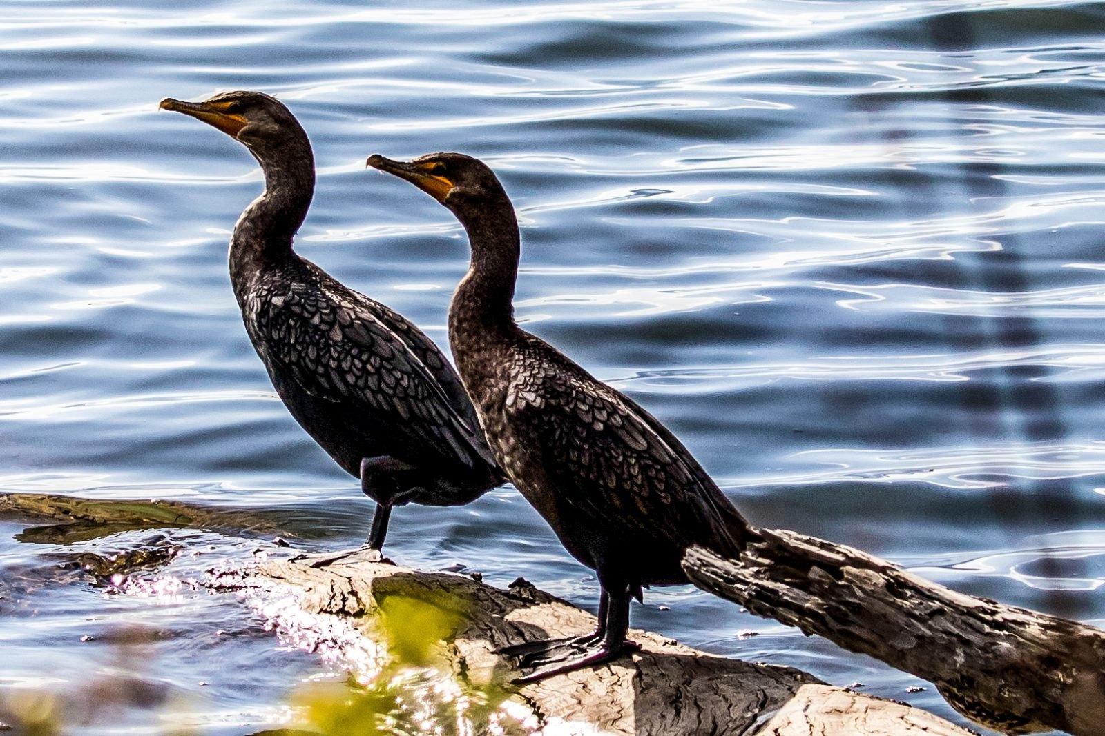 Double-crested Cormorants by Glenn Bush