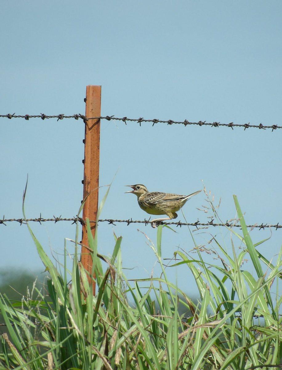 Eastern Meadowlark by Rebecca Herrera
