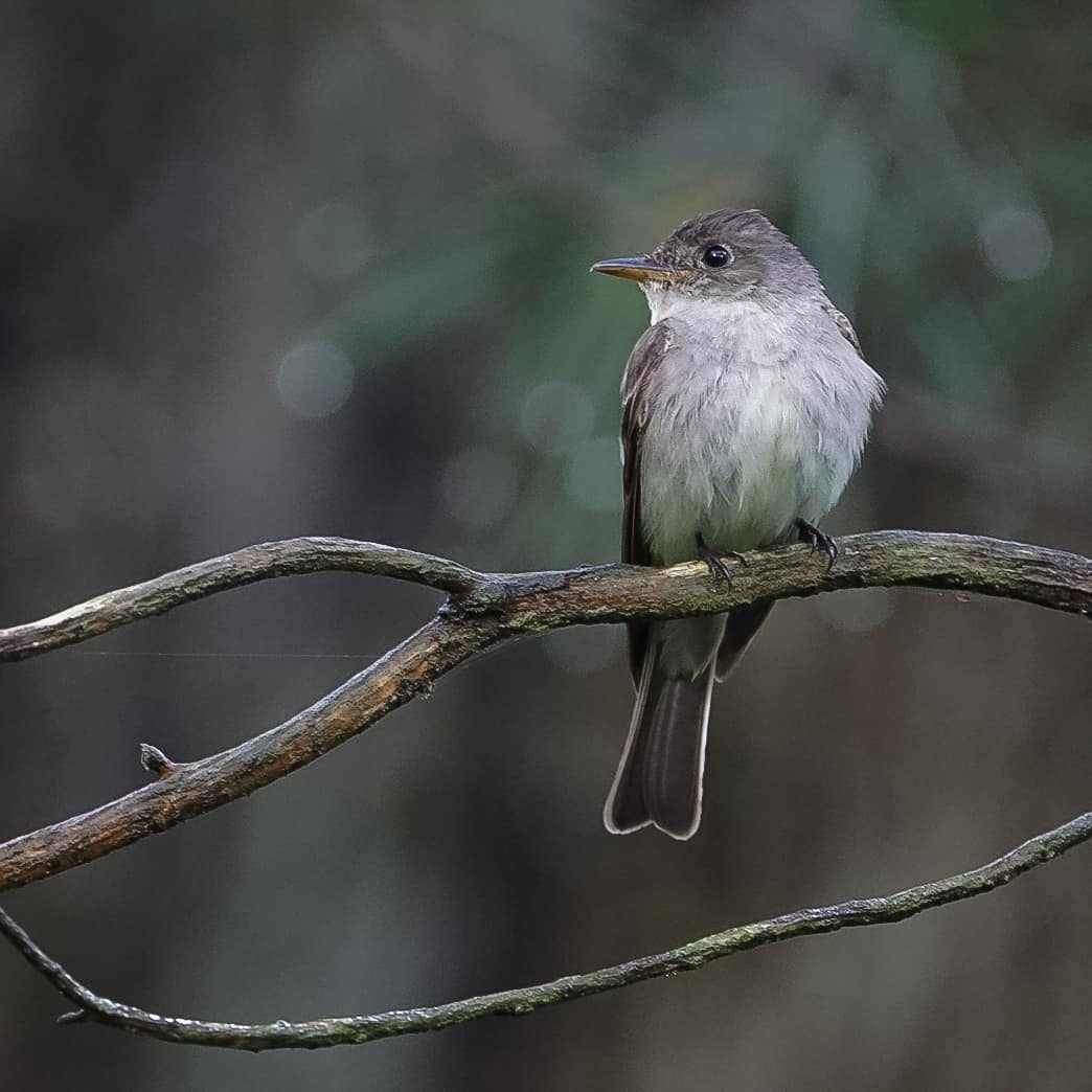 Eastern Wood-Pewee by Donna B. Housden