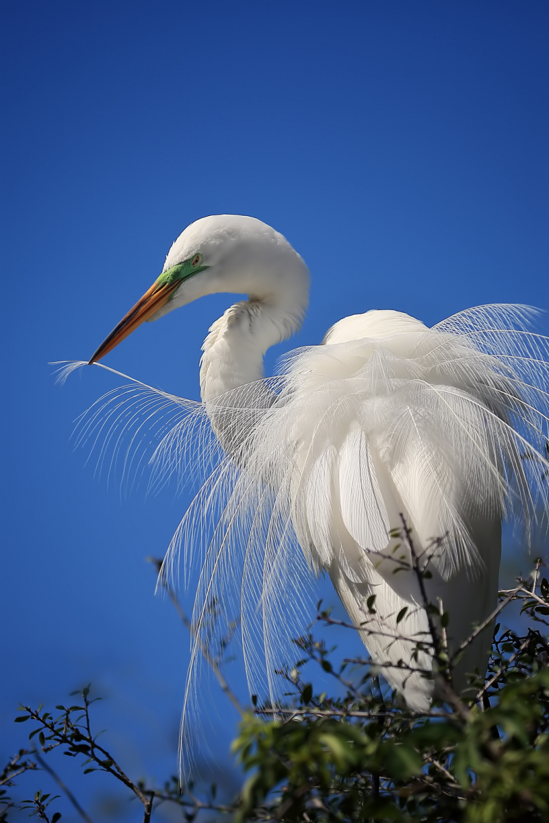 Great Egret by Linn Smith