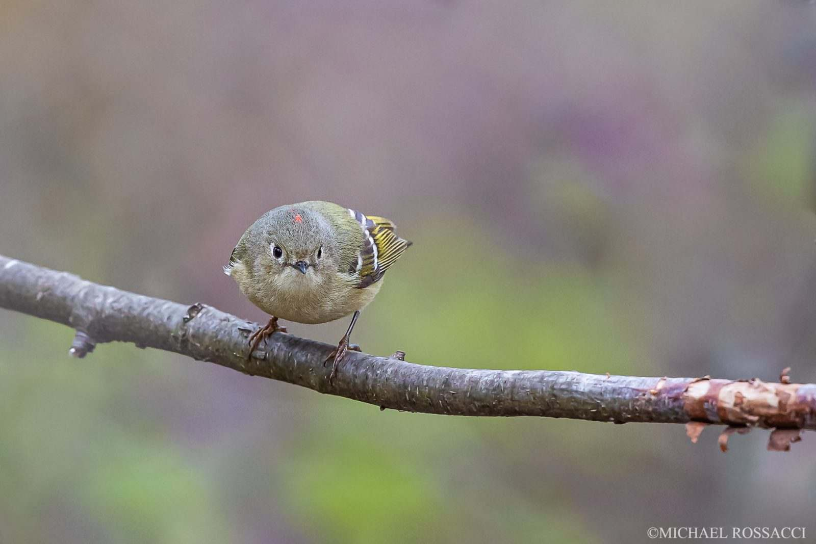 Ruby-crowned Kinglet by Michael Rossacci