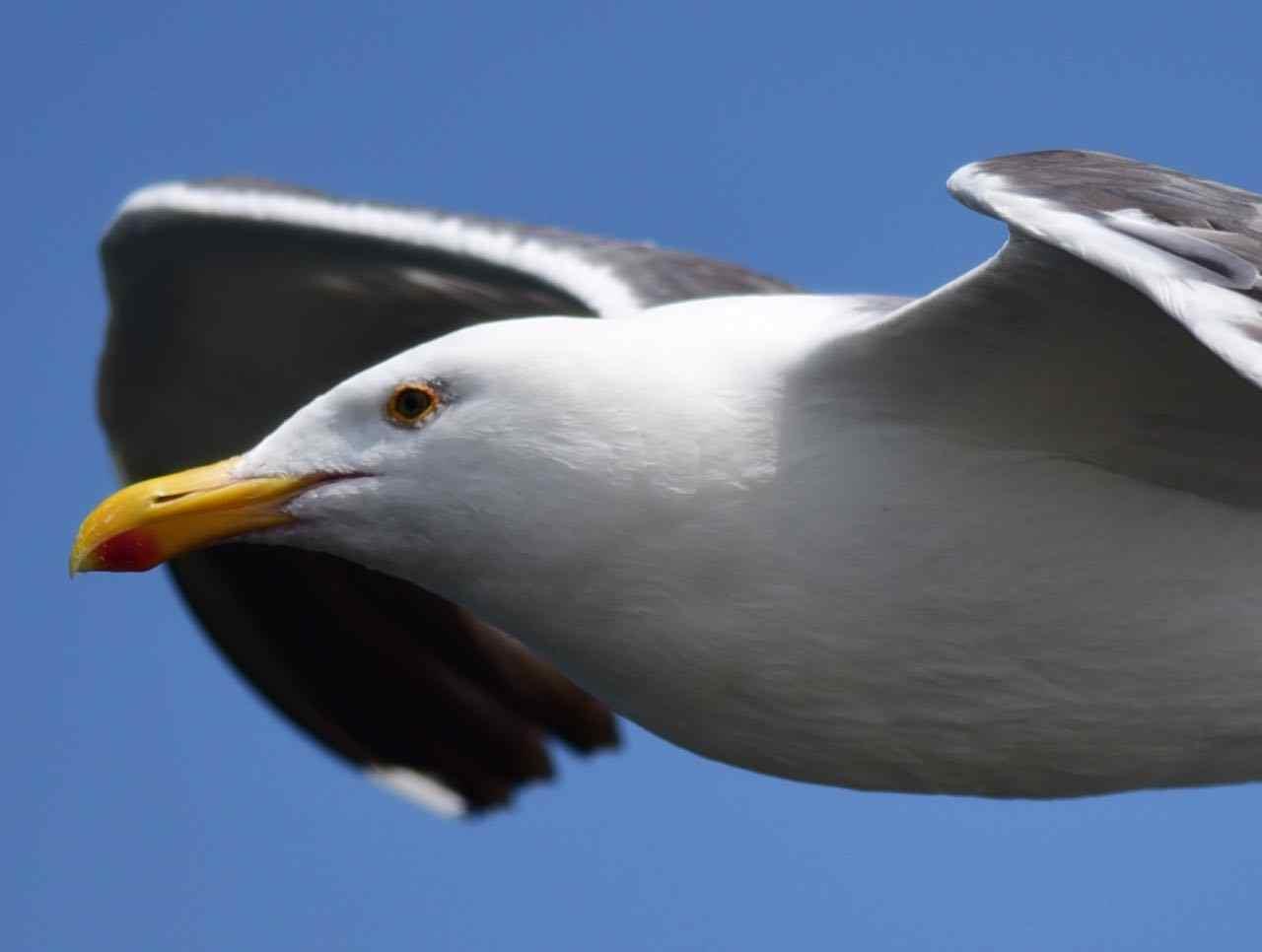 Western Gull by Bob Betancourt