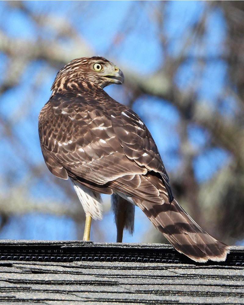 Cooper's Hawk by Sue Crean