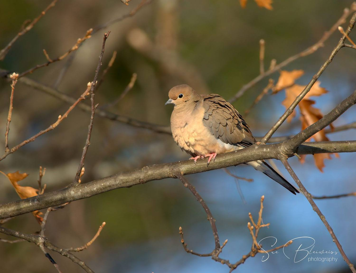 Mourning Dove by Susan Bleiweiss