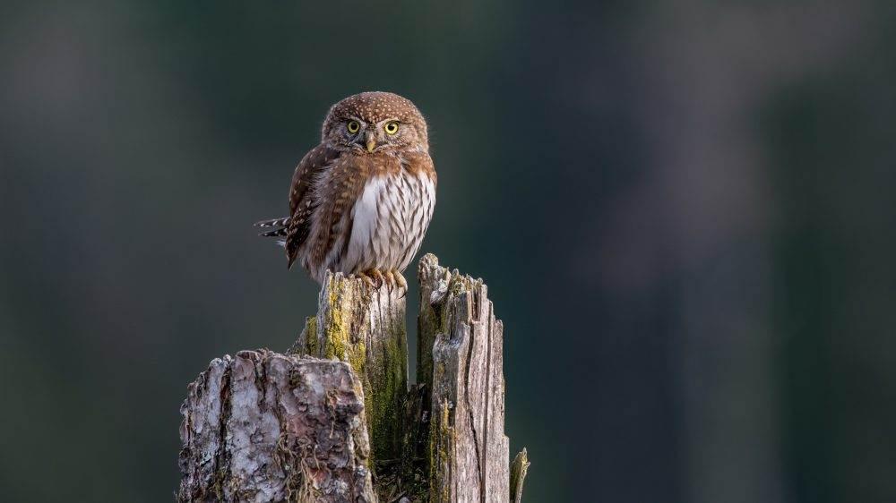 Northern Pygmy Owl by Anthony Bucci