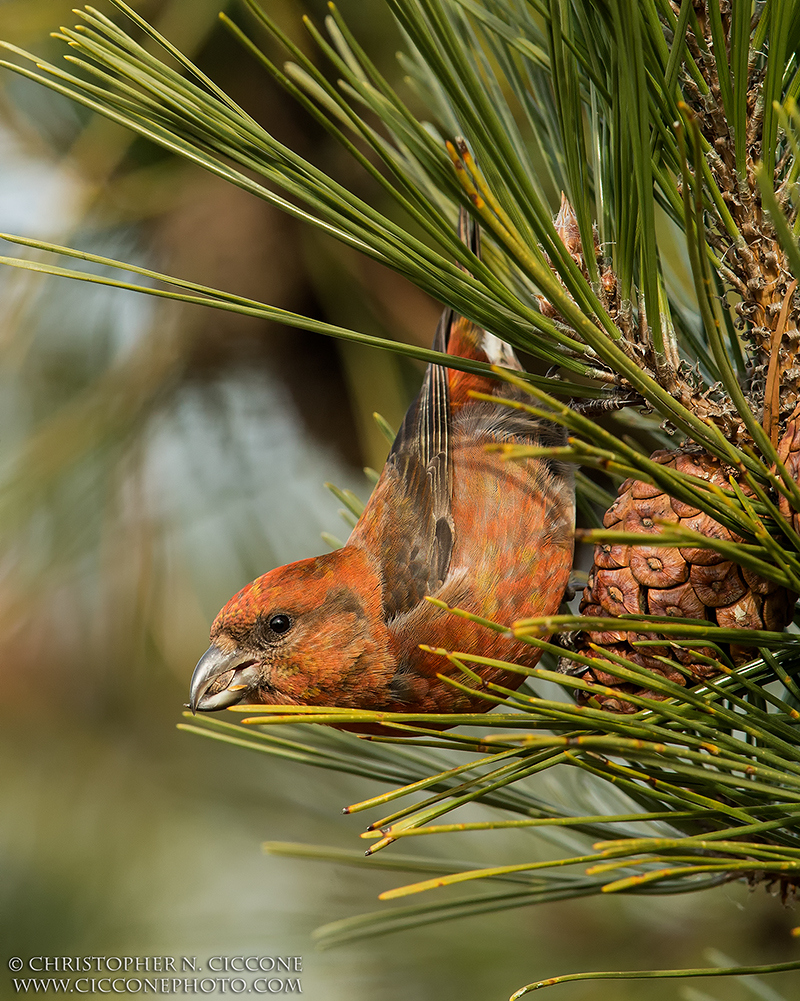 Red Crossbill by Christopher Ciccone