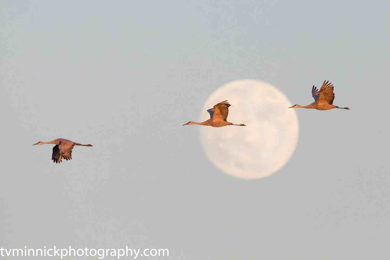 Sandhill Cranes by Timothy Minnick
