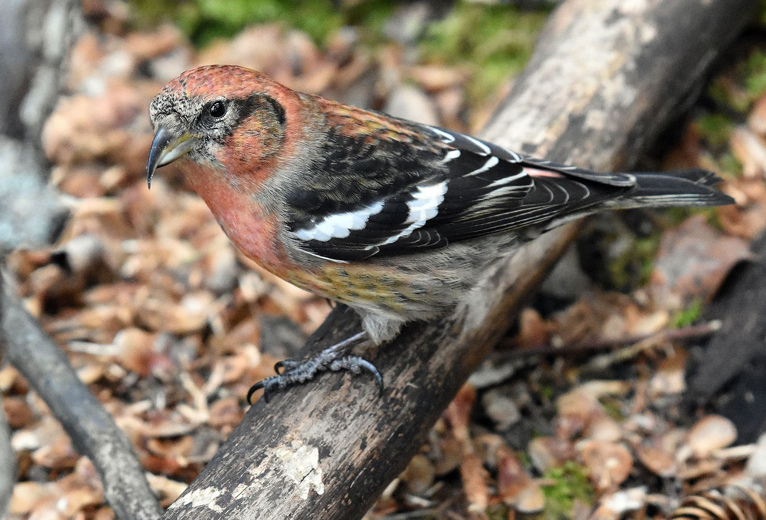 White-winged Crossbill  by David Mundy