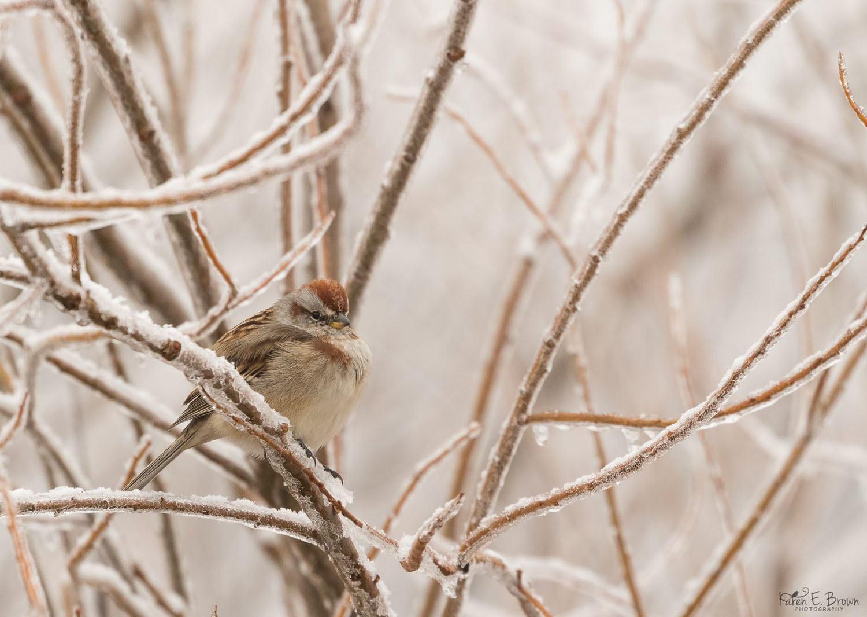 American Tree Sparrow by Karen Brown