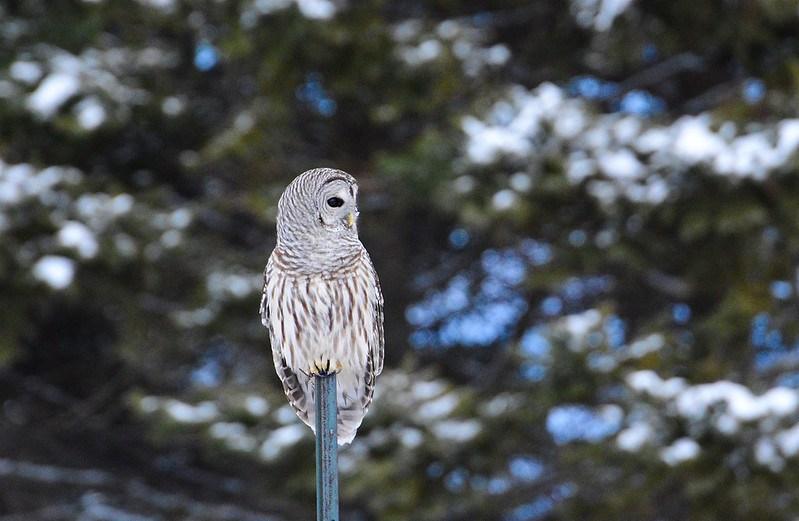 Barred Owl by Paul O'Toole