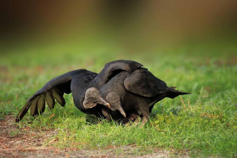 Black Vultures by Linn Smith