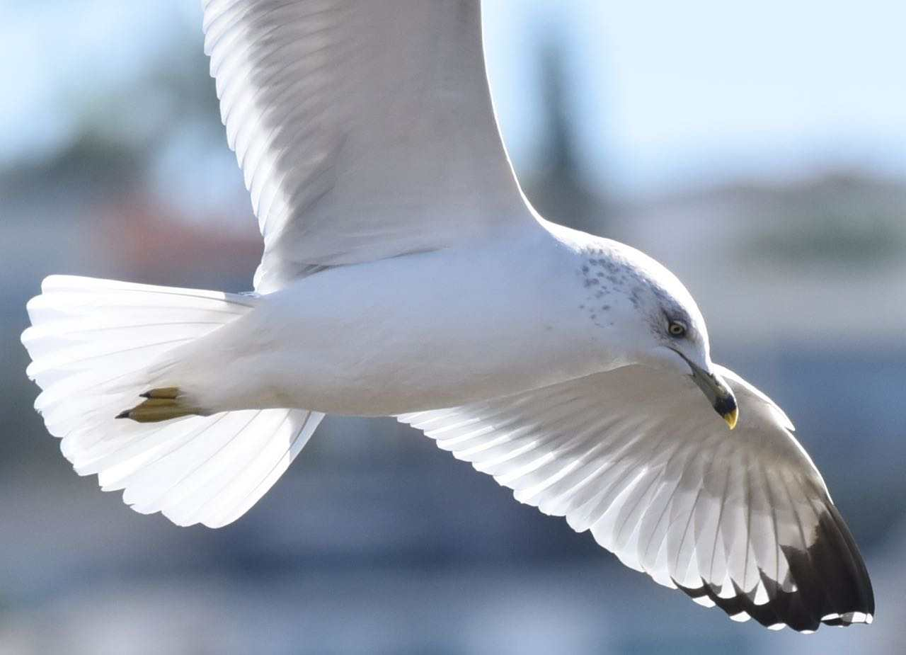 Ring-billed Gull by Bob Betancourt