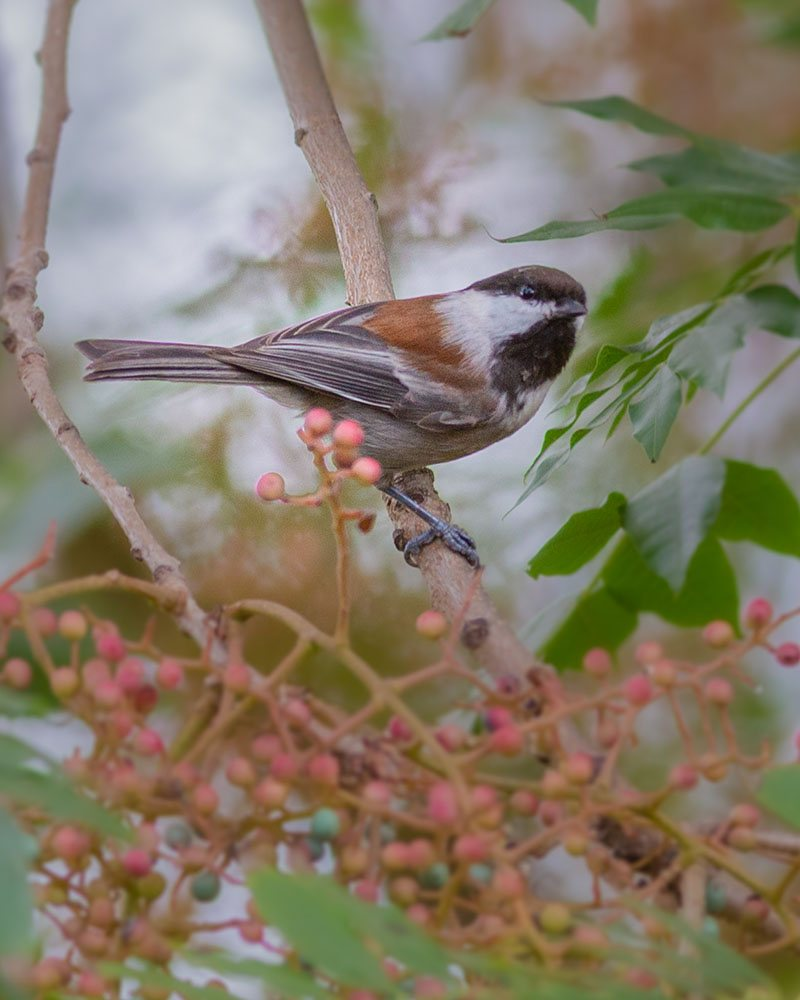 Chestnut-backed Chickadee by Val Blakely