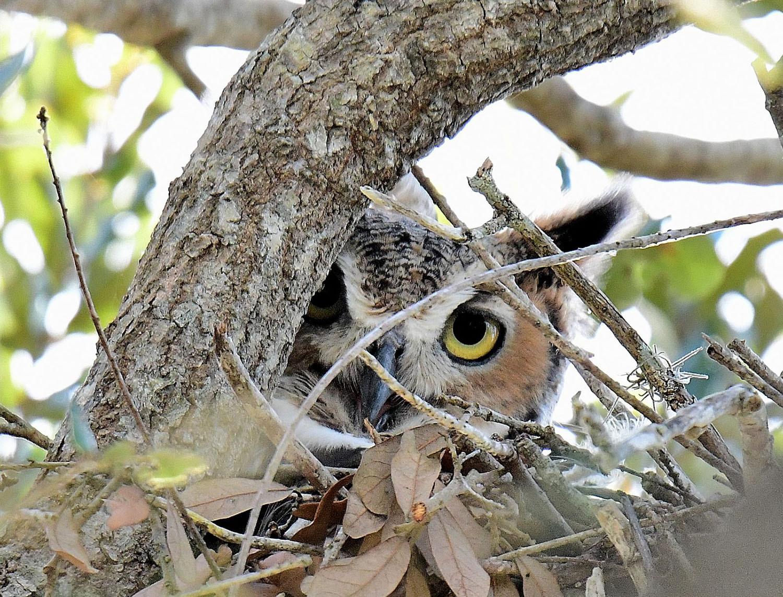 Great Horned Owl by Marilynne Strazzeri