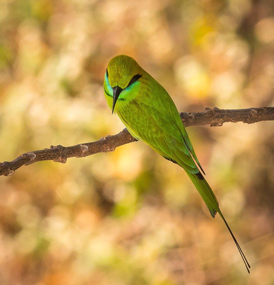 Green Bee-eater by Gajanan.t