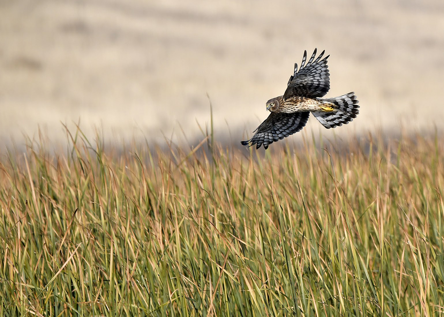 Northern Harrier by Sonja Beeve
