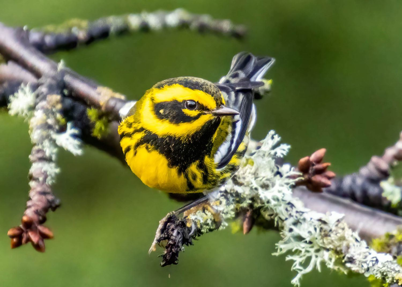 Townsend's Warbler by trav.sullivan