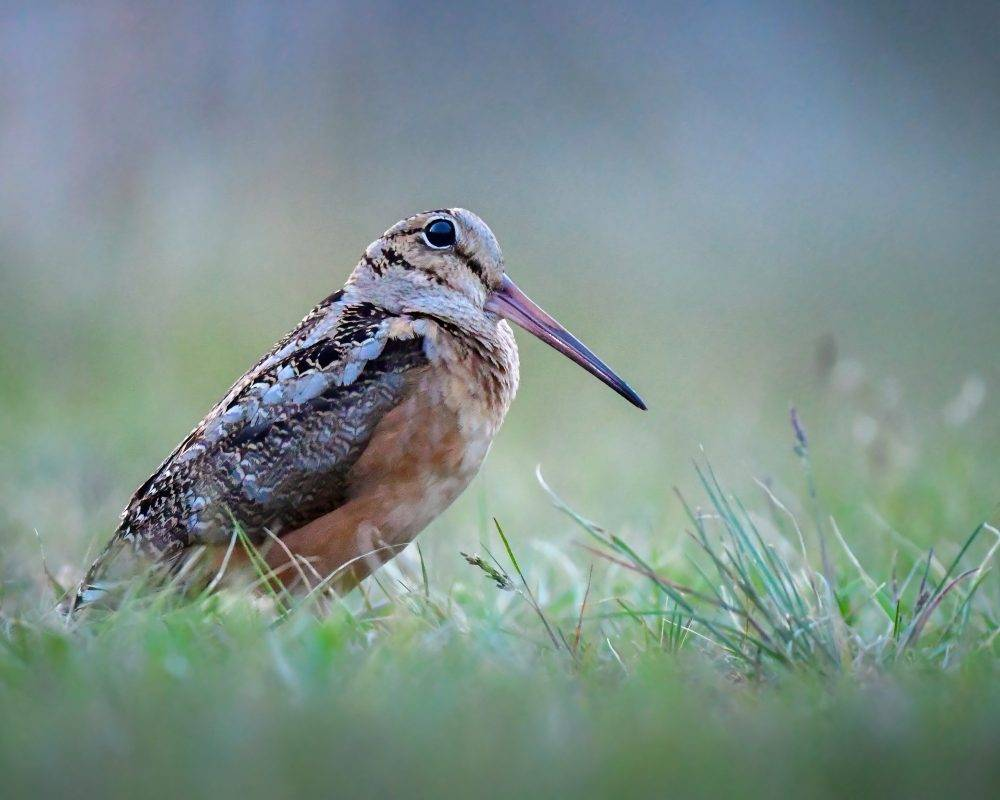 American Woodcock by Andy Raupp