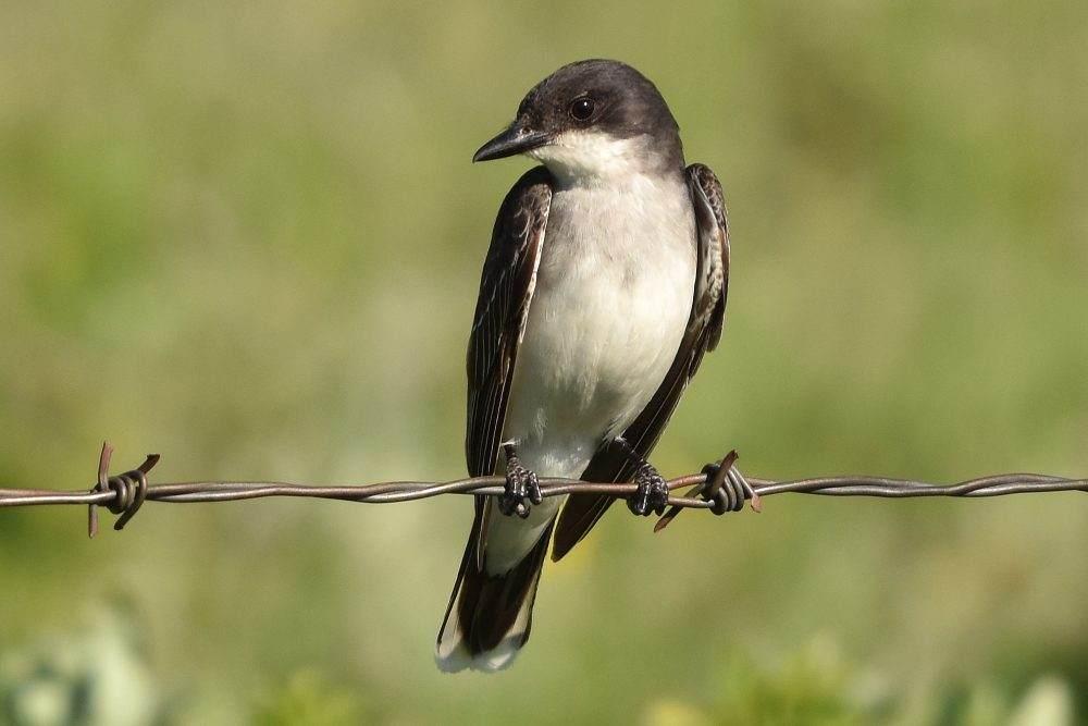 Eastern Kingbird by David Mundy