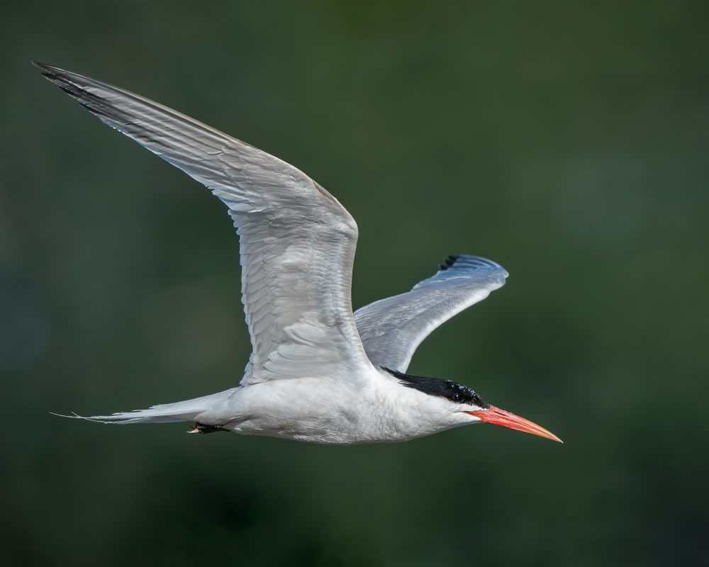 Elegant Tern by Shawn Cooper