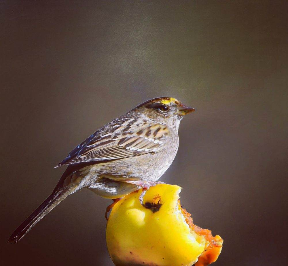 Golden-crowned Sparrow by Stephanie Becker