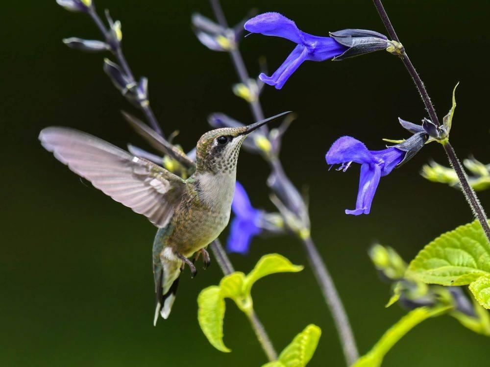 Ruby-throated Hummingbird by Steve Ricketts
