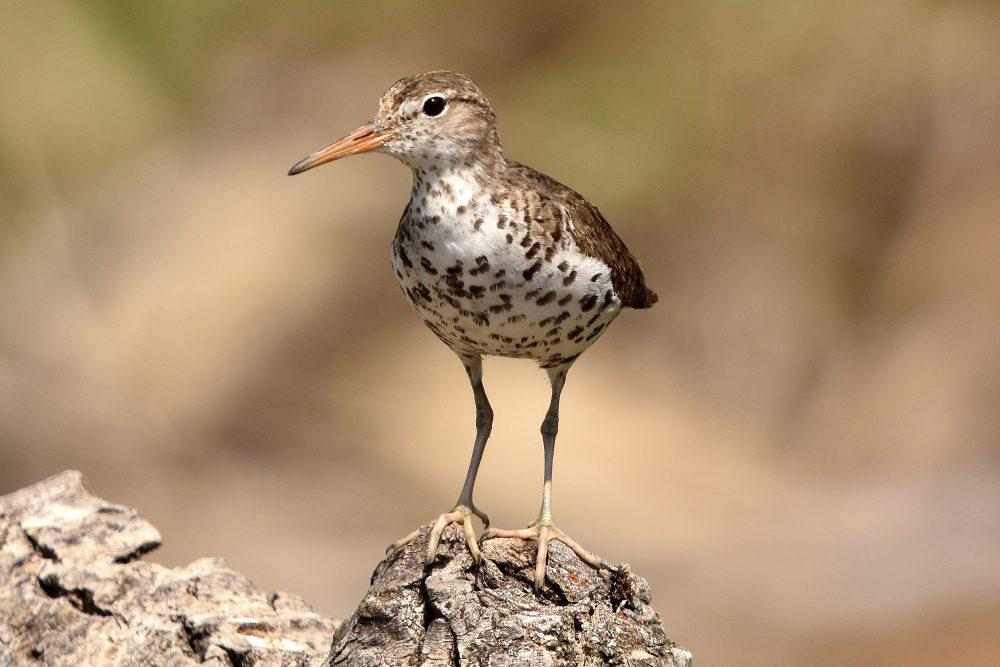 Spotted Sandpiper by David Mundy