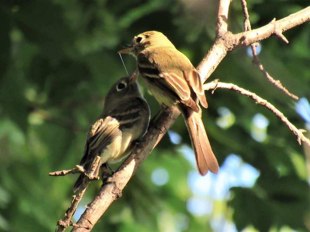 Cordilleran Flycatchers