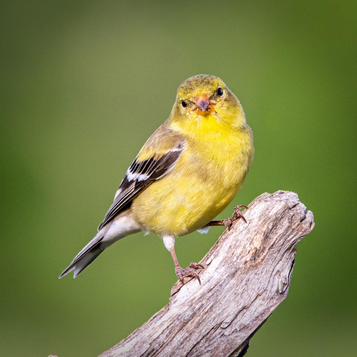 American Goldfinch by David Heilman