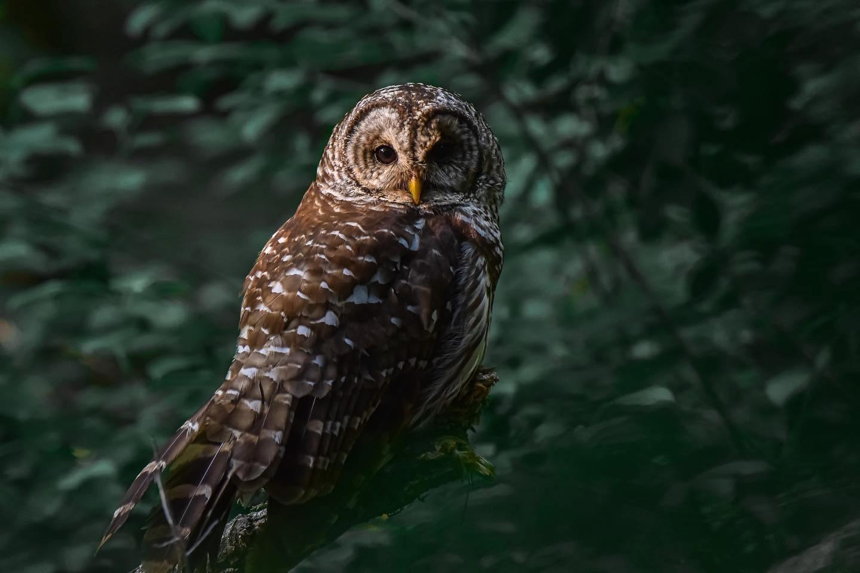 Barred Owl by Shrishti Joshi