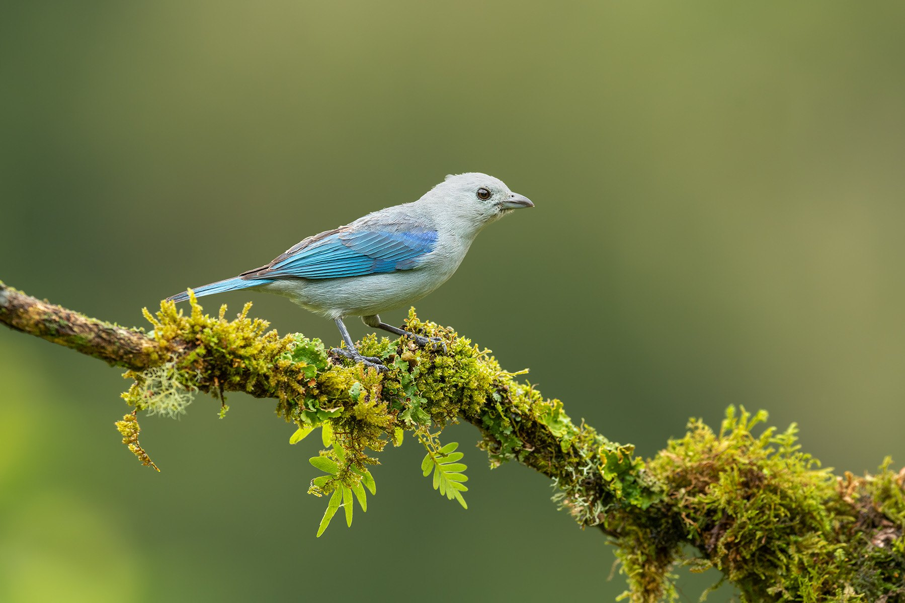 Blue-gray Tanager by Cindy Jones