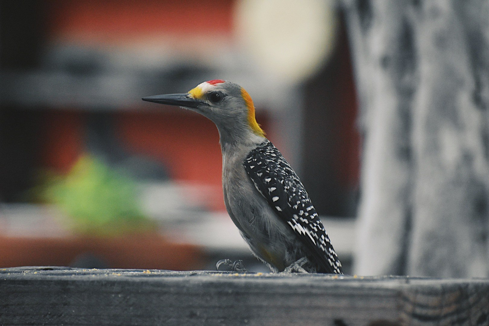 Golden-fronted Woodpecker by Catherine O'Brien