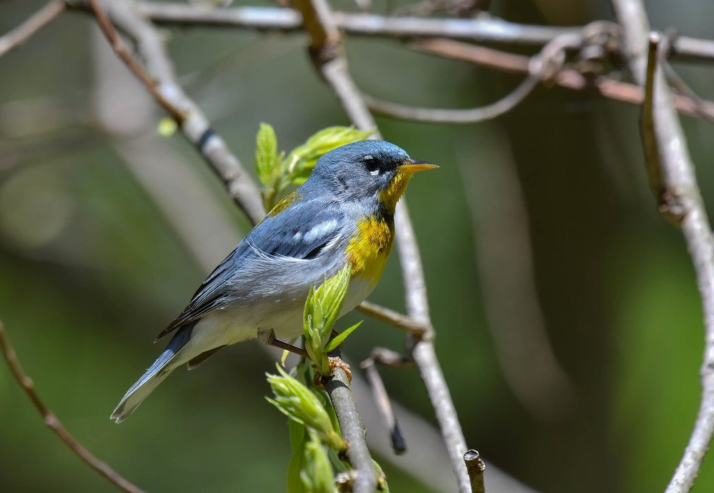 Northern Parula by Steve Ricketts