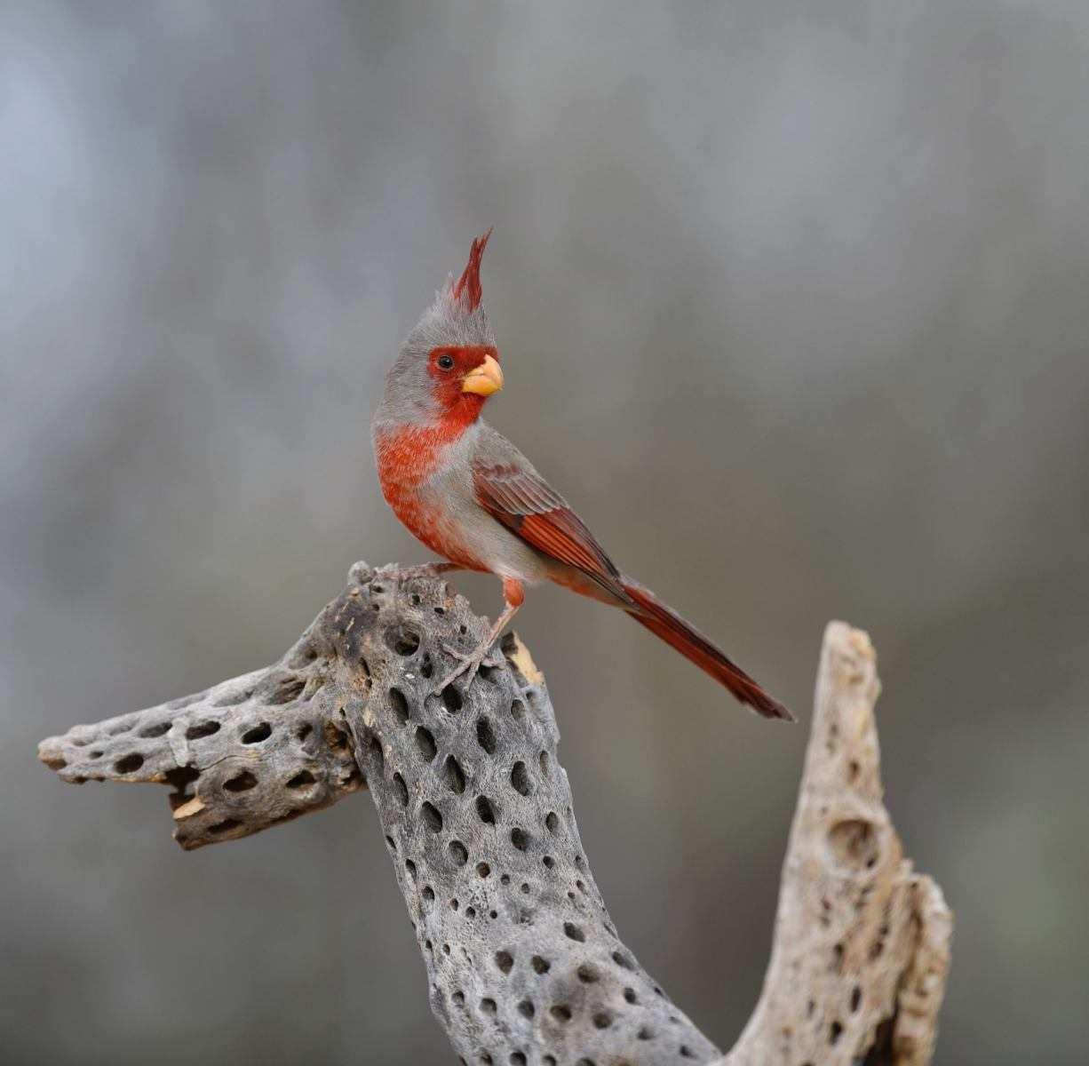 Pyrrhuloxia by Cindy Jones